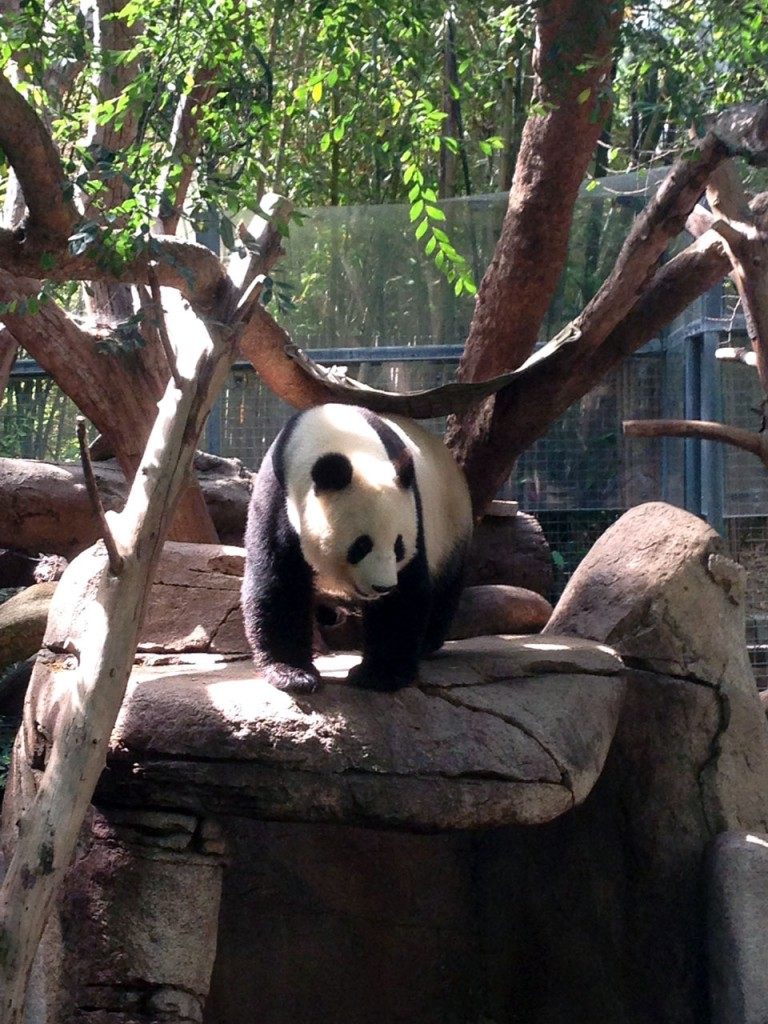 Panda waking up and moving to the bamboo to eat, much to the delight of the massive crowd